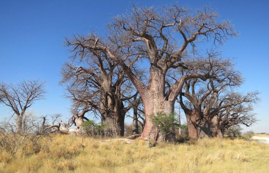 Baines Baobabs - Nxai Pan NP (Botswana)