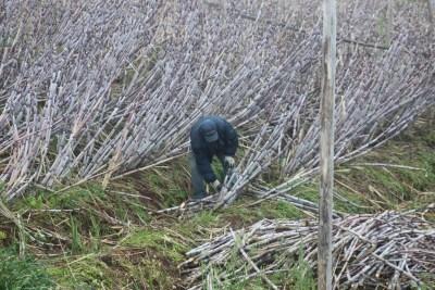 Les coupeurs de canne à sucre devant notre gite - Ponta Do Sol (Madère)