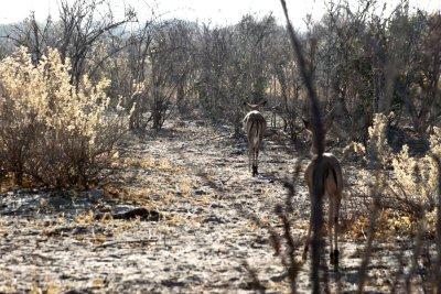 Impalas au campsite de Savuti - Botswana