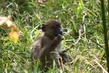 Babouin aux chutes Victoria - Zimbabwe