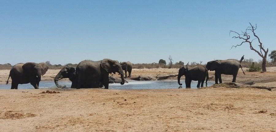 Eléphants dans la région de Savuti - Botswana