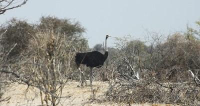 Autruche - Rivière Boteti (Botswana)