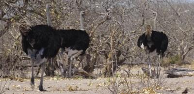 Autruches - Botswana