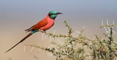 Carmine Bee Eater - Réserve de Moremi (Botswana)