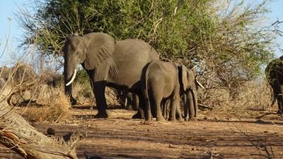 Eléphants au bord de la rivière Chobe - Botswana