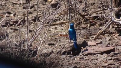 Greater blue-eared starling du parc national de Chobe - Botswana