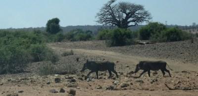 Phacochères au parc national de Chobe - Botswana
