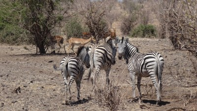 Zèbres et impalas au bord de la rivière du parc national de Chobe - Botswana