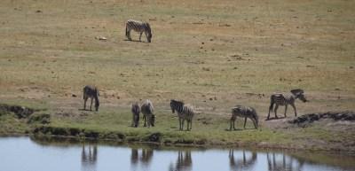 Zèbres au bord de la rivière du parc national de Chobe - Botswana