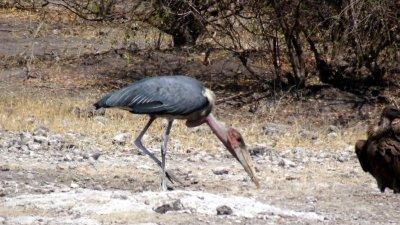 Marabou Stork dans le parc de Chobe - Botswana