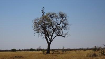 Paysage de la région de Savuti - Botswana