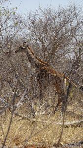 Girafe - Savuti (Botswana)