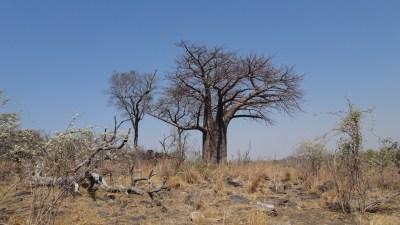 Baobab - Savuti (Botswana)