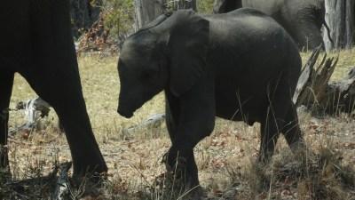 Eléphants sur la piste de la réserve de Moremi (Botswana)