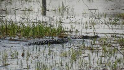 Crocodile - Réserve de Moremi (Botswana)