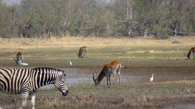 Zèbres et springboks - Réserve de Moremi (Botswana)