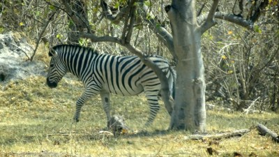 Zèbre au campsite de Mbudi - Botswana