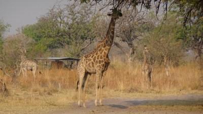 Girafes au campsite de Third Bridge - Réserve de Moremi (Botswana)