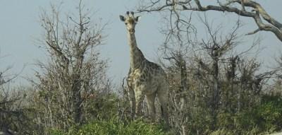 Girafe - Réserve de Moremi (Botswana)