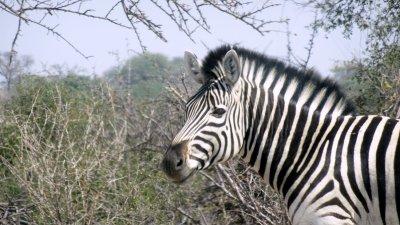 Zèbre - Rivière Boteti (Botswana)
