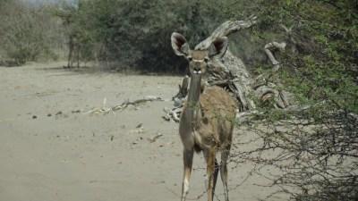 Kudu - Rivière Boteti (Botswana)