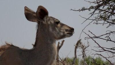 Puku - Rivière Boteti (Botswana)