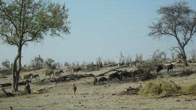 Zèbres et gnous - Rivière Boteti (Botswana)