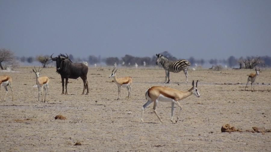 Gnous - Zèbres et springboks - Nxai Pan NP - Botswana