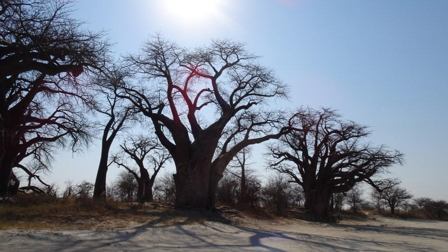 Nxai Pan NP - Baines Baobab (Botswana)