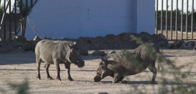 Phacochères à Kasane - Botswana