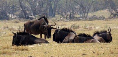 Gnous - Réserve de Moremi (Botswana)