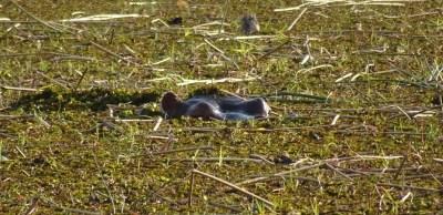 hippopotame dans la rivière Khwai - Botswana
