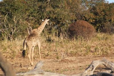 Girafe - PN Chobe (Botswana)