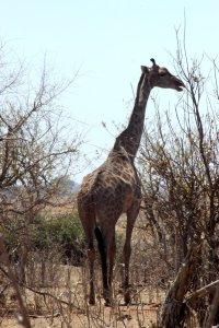 Girafe dans le parc national de Chobe - Botswana