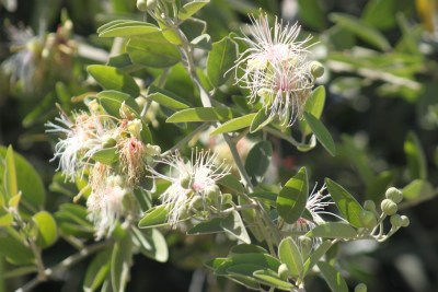 Fleurs du parc national de Chobe - Botswana