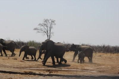 Troupeau d'éléphants - Botswana