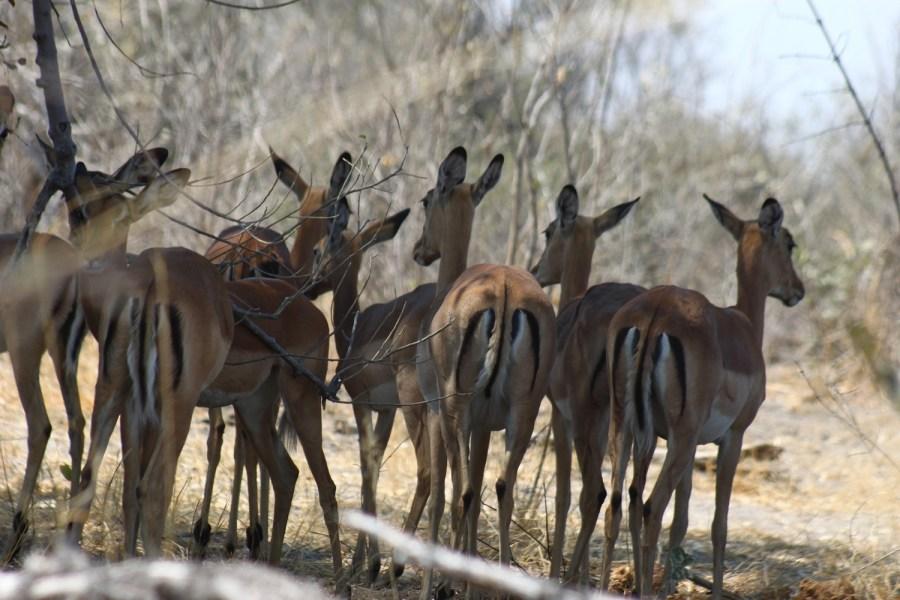 Impalas - Botswana