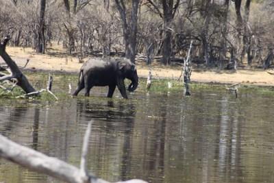 Eléphant au bord de la rivière Khwai - campsite de Mbudi (Botswana)