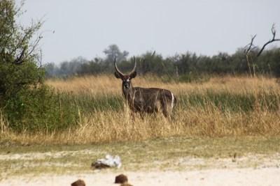 Waterbuck - Réserve de Moremi (Botswana)