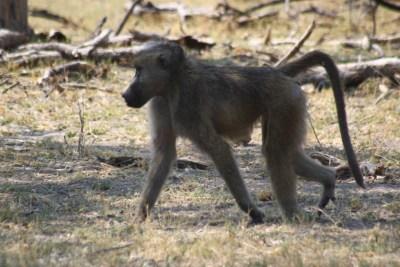 Babouin - Réserve de Moremi (Botswana)