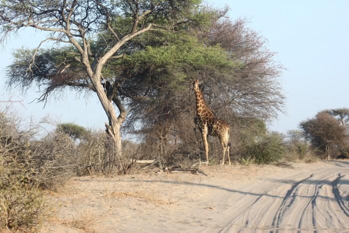 Girafe - Makgadikgadi NP (Botswana)