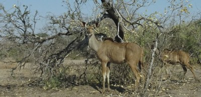 Kudus - Rivière Boteti - Makgadikgadi NP (Botswana)