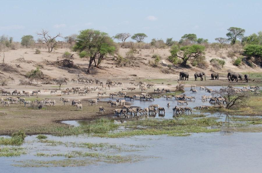 La faune dans la rivière Boteti - Makgadikgadi NP (Botswana)