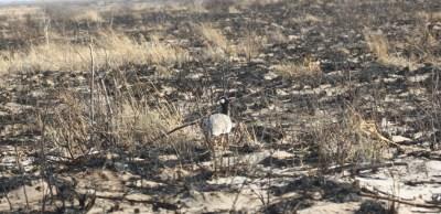 Northern black korhaan - Nxai Pan NP (Botswana)