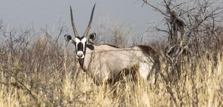 Oryx - Nxai Pan NP (Botswana)