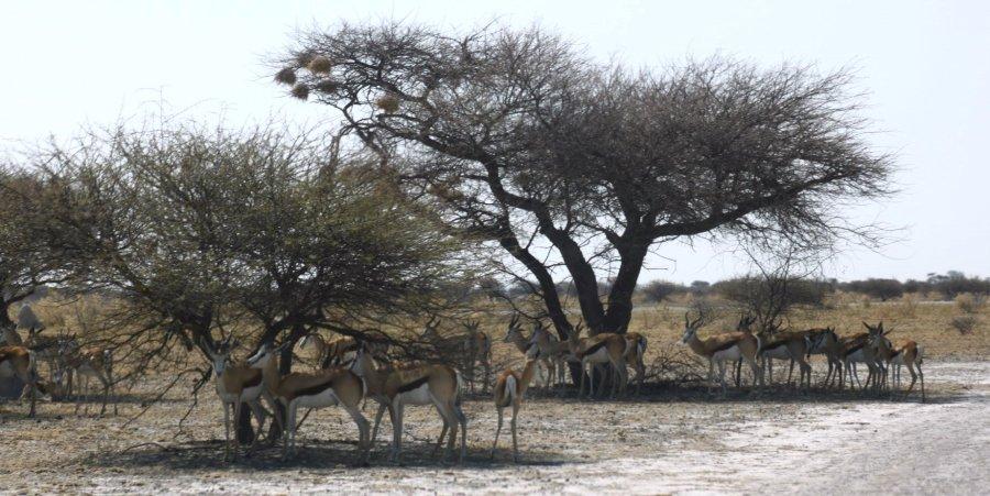 Springboks - Nxai Pan NP (Botswana)
