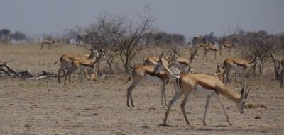 Spingboks - Nxai Pan NP (Botswana)