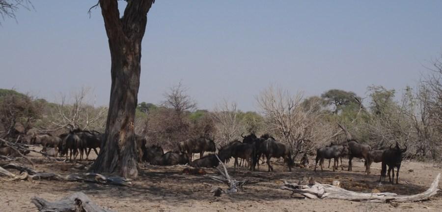 Troupeau de gnous - Makgadikgadi NP (Botswana)