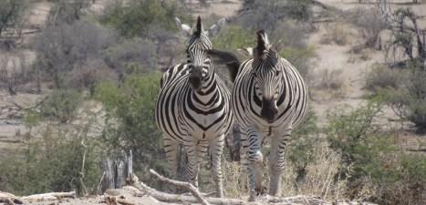 Zèbres - Rivière Boteti (Botswana)