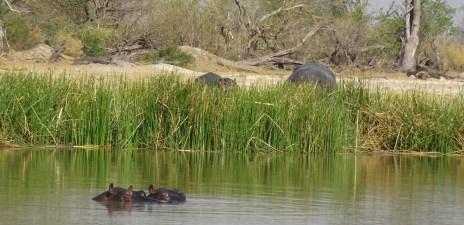 Hippopotames - Réserve de Moremi (Botswana)